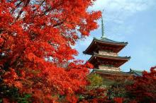 Momiji - red maples